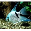 Скалярия голубой бриллиант