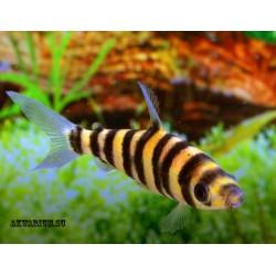 Лепоринус полосатый-Аффинис