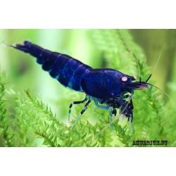 Королевская темно-синяя креветка