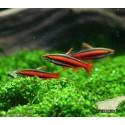 Нанностомус перуанский красный