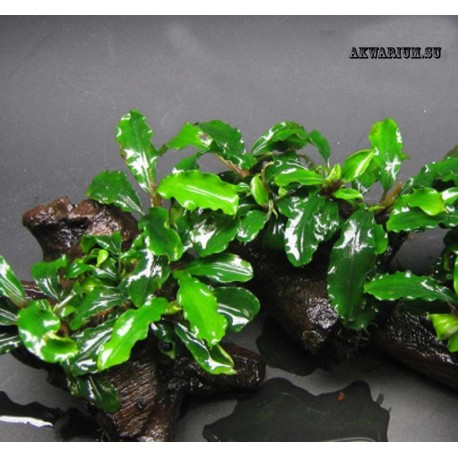 Буцефаландра зелёная волнистая