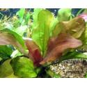 Эхинодорус Розовый