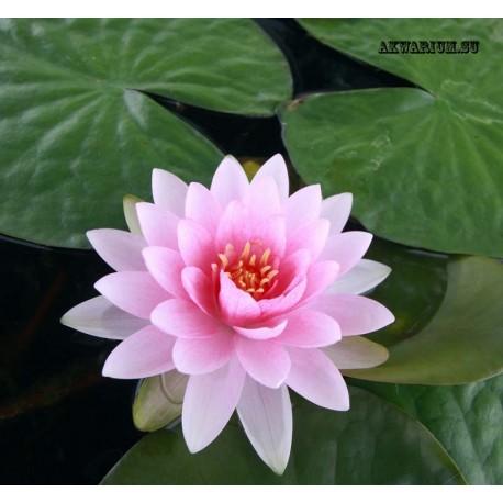 Нимфея розовая