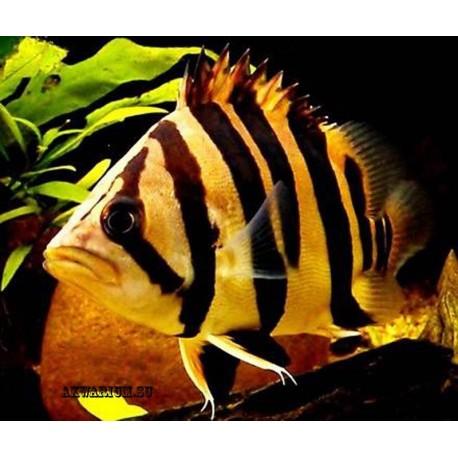 Индонезийский тигровый окунь