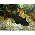 Черный багрус