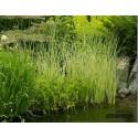 Камыш озерный 'Albescens'