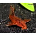 Ринелорикария красная L 010A