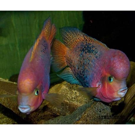 Радужная цихлазома,красноголовая