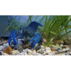 Рак Ябби синий
