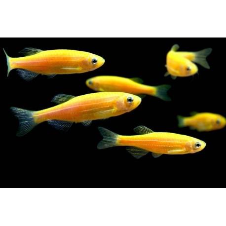 Данио флюоресцентные жёлтый