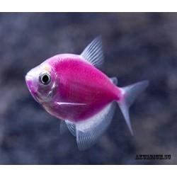 Тернеция флуоресцентная пурпурная