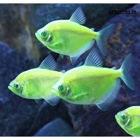 Тернеция флуоресцентная зелёная