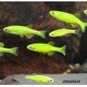 Данио флуоресцентные зелёный