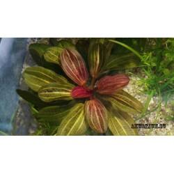 Эхинодорус красный жемчуг