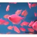 Тернеция флуоресцентная розовая