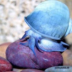 Ампулярия голубая