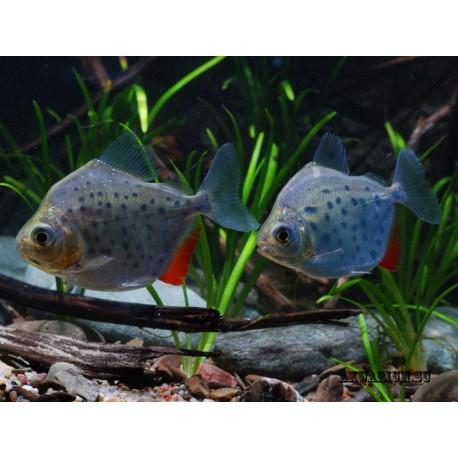 Серебристая рыба-доллар