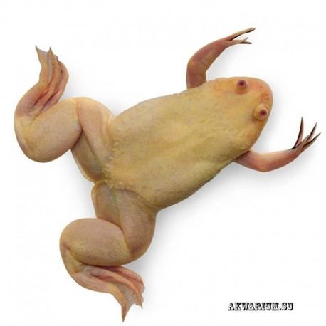 Шпорцевая лягушка альбинос - Аквамагазин