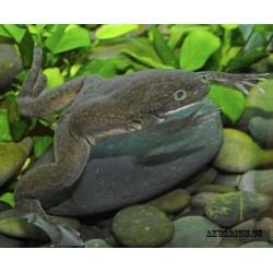 Шпорцевая лягушка серая