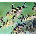 Синодонтис тигровый