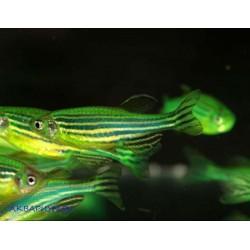 Данио флуоресцентные зелёный арбуз