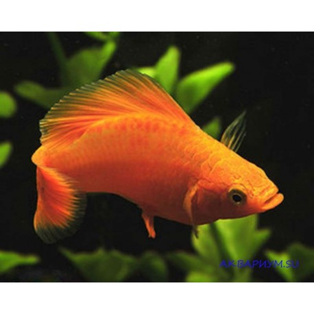Моллинезия оранжевая