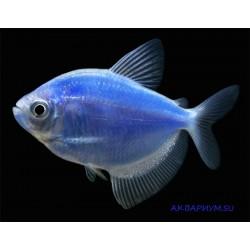 Тернеция флуоресцентная синяя
