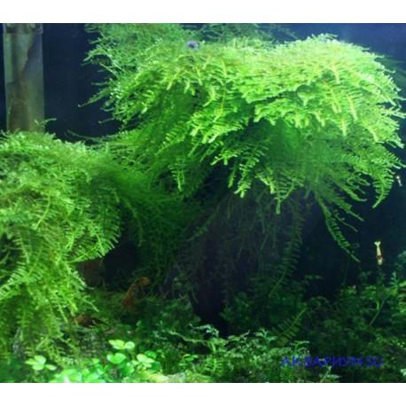 Тайванский мох