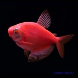 Тернеция флуоресцентная красная