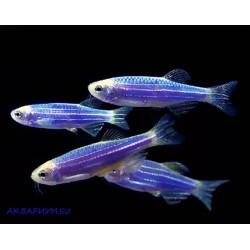 Данио флуоресцентные синий