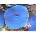 Дискосома синяя