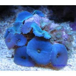 Дискосомы синяя на камне