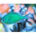 Хромис сине-зеленый