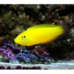 Тамарин желтый