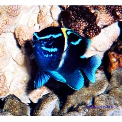 Параглифидодон - голубой вельвет