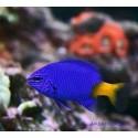 Хризиптера желтохвостая синеплавничная