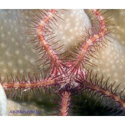 Офиура пурпурная