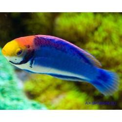 Циррилабрус голубой