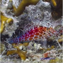 Кудрепер коралловый