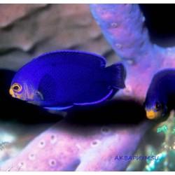Центропиг фиолетовый