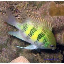 Рыба-ласточка курасао
