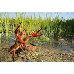 Флоридский болотный рак
