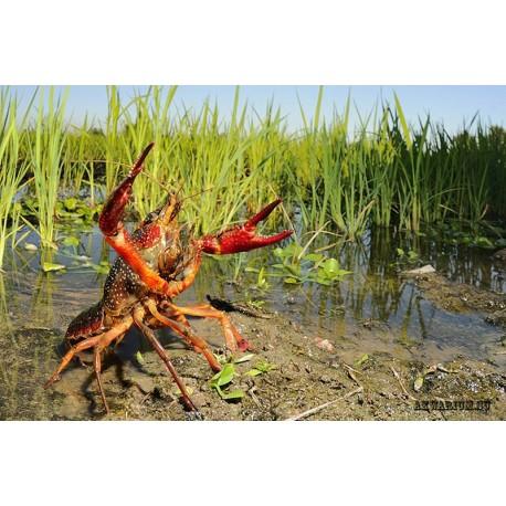 флоридский болотный рак (Procambarus clarkii)