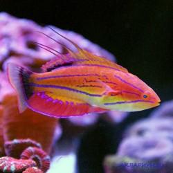 Парахейлин красноплавниковый
