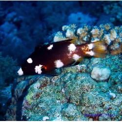 Коралловый кабанчик