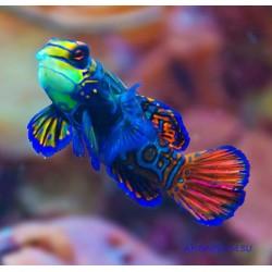 Мандаринка глянцевая - синий плавник