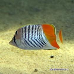 Красноспинная рыба-бабочка