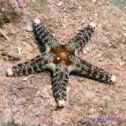 Морская звезда каминги