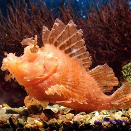 Рыба-скорпион Эщмейера
