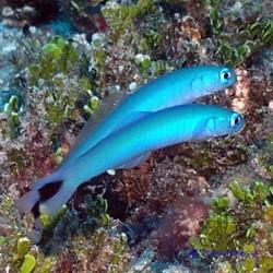 Птерэлеотрис синий стреловидный